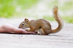 Juvenile Red Squirrel Stock Image