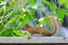 Juvenile Red Squirrel Royalty Free Stock Photography