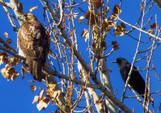 Red Tail Hawk and Crow. Crow harassing a juvenile Red Tail Hawk Stock Photos