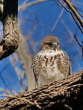 Juvenile Red-tail hawk Portrait Session royalty free stock photography