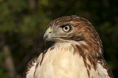 Juvenile Red Tail Hawk. Portrait of a juvenile red tail hawk Stock Photo