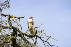 Juvenile Red-tailed Hawk (Buteo jamaicensis) perched on an oak tree branch, Coyote Valley Open Space Preserve, Morgan Hill, south. San Francisco bay area royalty free stock images