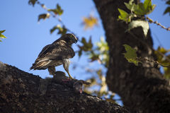 Juvenile Red Tailed Hawk with Prey Royalty Free Stock Photo