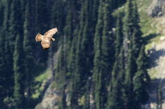 Juvenile Red-tailed Hawk Soaring in the Mountains. A juvenile Red-tailed Hawk at Mount Rainier National Park Stock Image