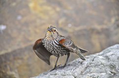 Juvenile red-winged blackbird Stock Photography