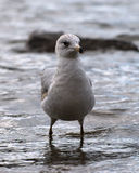 Juvenile Ring-billed Gull. This is a juvenile Ring-billed gull with it's second winter plumage. He should look like an adult by the end of summer Stock Image