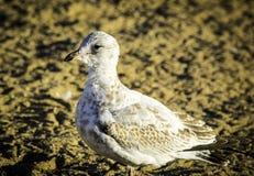 Juvenile Ring-Billed Gull Royalty Free Stock Photo