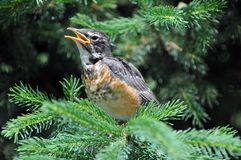 Juvenile Robin. Calls for its Mother Royalty Free Stock Photography
