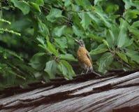 Juvenile Robin near Cascara Tree Foliage. A juvenile Robin sits on a weathered shake roof near the fruiting foliage of a Cascara tree. The ripe (black) Cascara Royalty Free Stock Image