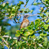 Juvenile Robin Royalty Free Stock Images