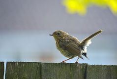 Juvenile Robin sat on fence. Stock Photography