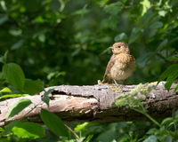 Juvenile robin. Sitting on a branch in a bright sunlight at Eastbrookend Country Park in Dagenham stock image