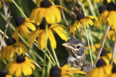 Juvenile Robin in Yellow Flowers. A juvenile robin sits amidst a crop of yellow rudibeckia flowers Royalty Free Stock Images