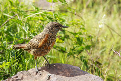 Juvenile Rock Thrush Royalty Free Stock Photo