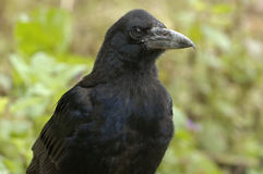 Juvenile Rook Royalty Free Stock Photo
