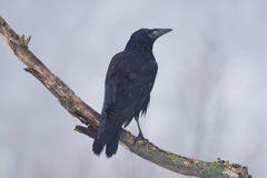 Juvenile rook in the fog Stock Photos