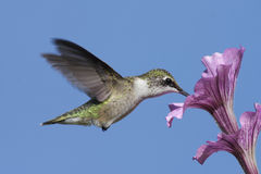 Juvenile Ruby-throated Hummingbird Royalty Free Stock Images