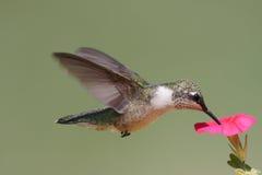 Juvenile Ruby-throated Hummingbird Stock Photography