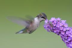 Juvenile Ruby-throated Hummingbird Royalty Free Stock Image