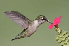 Juvenile Ruby-throated Hummingbird Royalty Free Stock Photography