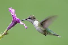 Juvenile Ruby-throated Hummingbird Stock Image