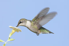 Juvenile Ruby-throated Hummingbird Stock Photography