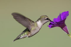 Juvenile Ruby-throated Hummingbird stock image