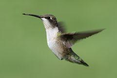 Ruby-throated Hummingbird archilochus colubris. Juvenile Ruby-throated Hummingbird archilochus colubris in flight with a green background royalty free stock photography