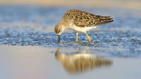 Juvenile Ruff in water. Juvenile Ruff in Blue Water Royalty Free Stock Image