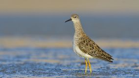 Juvenile Ruff in water. Juvenile Ruff in Blue Water Royalty Free Stock Photo