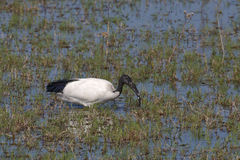 Juvenile Sacred Ibis Foraging in Wetlands Stock Images