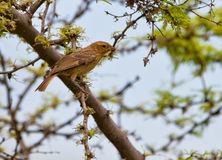 Juvenile Saffron Finch Royalty Free Stock Photos