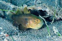 Juvenile saint peter fish underwater close up portrait Royalty Free Stock Photo