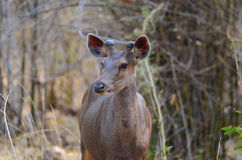 Juvenile Sambar Deer Royalty Free Stock Images