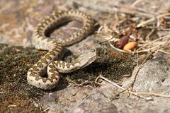 Juvenile sand viper in situ Stock Photography