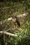 Juvenile savanna hawk on branch making call Stock Photo