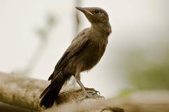 A juvenile indian robin Stock Photos