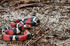 Free Juvenile Scarlet Kingsnake Royalty Free Stock Photo - 112495395