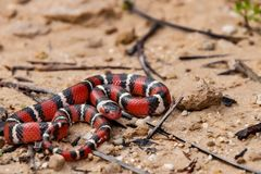 Juvenile Scarlet Kingsnake. A close up of a young Scarlet Kingsnake during spring in Florida Royalty Free Stock Photos