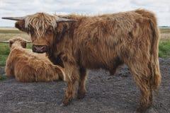 Juvenile Scottish Highland Cattles Stock Image