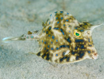 Juvenile Scrawled Cowfish Stock Photo
