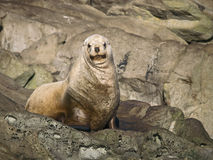 Juvenile Sea Lion. A young Steller Sea Lion with a smirk hauled out in southern British Columbia, Canada Stock Image