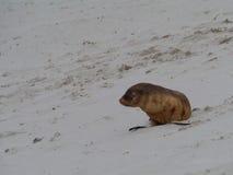 Juvenile sea lion Royalty Free Stock Photography
