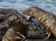 Juvenile Sea Lions Playing Stock Image