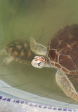 Juvenile Sea Turtles. Endangerd sea turtles safe within a rehabilitation facility Stock Photography