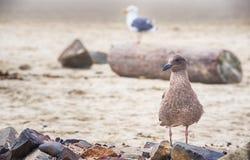 Juvenile Seabird Royalty Free Stock Image