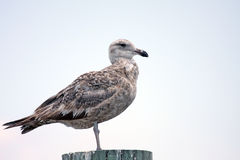 Juvenile Seagull Royalty Free Stock Photos