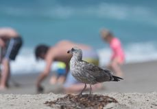 Juvenile seagull at the beach in Malibu, California. Observing the beach goers Stock Images