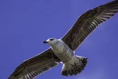 Juvenile seagull close-up in flight Royalty Free Stock Image