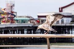 Juvenile Seagull Stock Photo